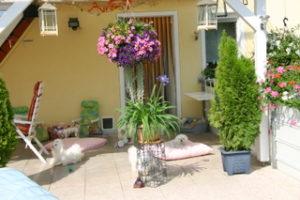 Malteser Hundezucht Zuhause5