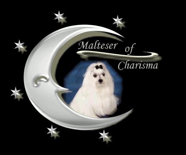 Malteser of Charisma - Malteser Hunde Welpen kaufen